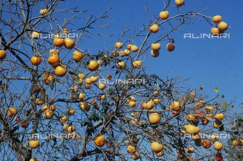 CAL-F-006529-0000 - Albero di cachi carico di frutti non ancora giunti a maturazione. Parco naturale del Treja, Calcata, Viterbo - Data dello scatto: 1989-1991 - Archivi Alinari, Firenze