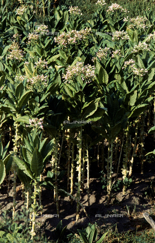CAL-F-006530-0000 - Tabacco plants in bloom