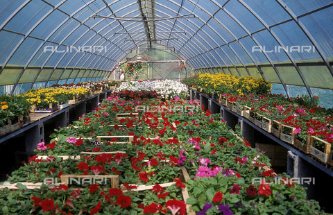 CAL-F-006536-0000 - Interior of a greenhouse for flowers