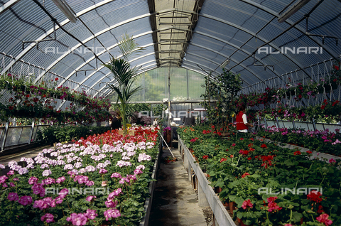 CAL-F-006542-0000 - Interior of a large greenhouse used for flower-growing; in the foreground numerous geranium plants in a variety of colorings