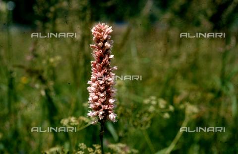 CAL-F-006562-0000 - Polygonum Bistorta flowers