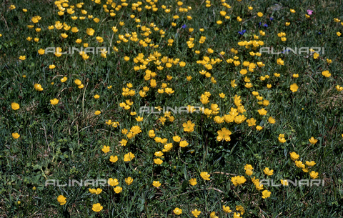 CAL-F-006564-0000 - Field with Ranuncolo Acer flowers