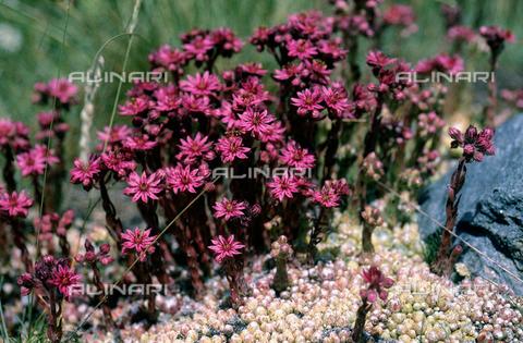 CAL-F-006565-0000 - Sempervivum Montanum flowers