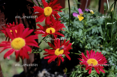 "CAL-F-006567-0000 - Some Chrysanthemum Maximum flowers, commonly called ""Shasta Daisies"" in English"