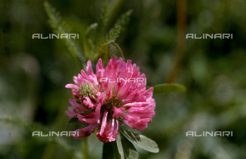 CAL-F-006568-0000 - Red Clover flower