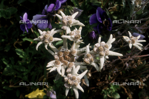 CAL-F-006569-0000 - Some Leontopodium Alpinum flowers, commonly referred to as Edelweiss