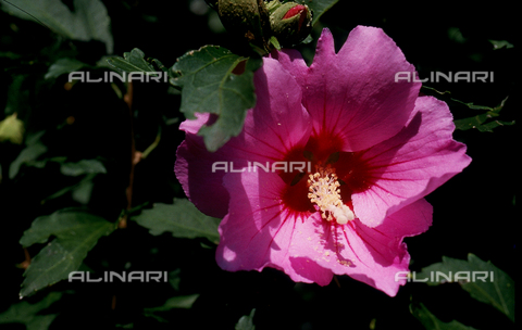 CAL-F-006575-0000 - Hibiscus Palustre flower