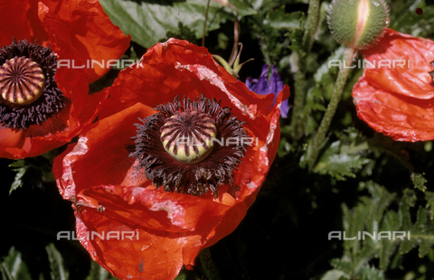 CAL-F-006578-0000 - Close-up of a wilted cultivated poppy