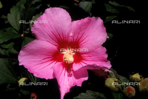 CAL-F-006579-0000 - Hibiscus Palustre flower