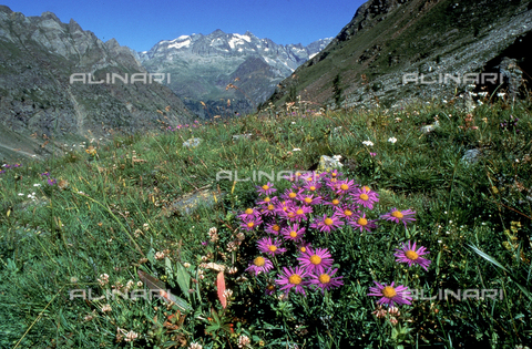 "CAL-F-006583-0000 - Field with some Aster Alpinus flowers, commonly called ""Alpine Aster"""