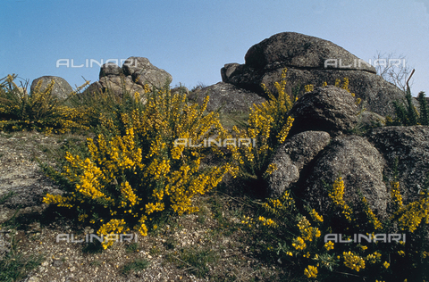 CAL-F-006593-0000 - Flowering broom on the Serra da Estraca in Portugal