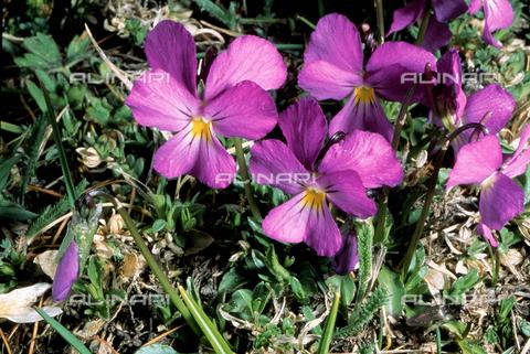 CAL-F-006594-0000 - Viola Calcarata flower