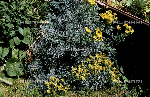 CAL-F-006596-0000 - Rue plant in bloom