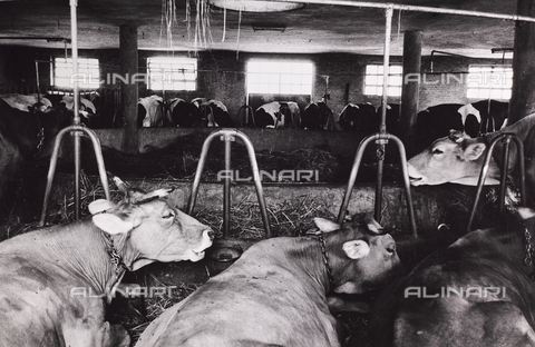 CGD-F-000203-0000 - Cows in a stable - Date of photography: 1955-1965 - Fratelli Alinari Museum Collections-Corinaldi Donation, Florence