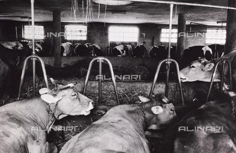 CGD-F-000203-0000 - Mucche nella stalla - Data dello scatto: 1955-1965 - Raccolte Museali Fratelli Alinari (RMFA)-donazione Corinaldi, Firenze