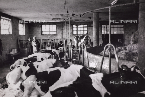 CGD-F-000204-0000 - Cows in a stable - Date of photography: 1955-1965 - Fratelli Alinari Museum Collections-Corinaldi Donation, Florence