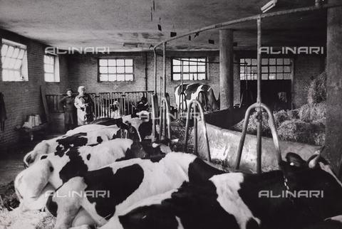 CGD-F-000204-0000 - Mucche nella stalla - Data dello scatto: 1955-1965 - Raccolte Museali Fratelli Alinari (RMFA)-donazione Corinaldi, Firenze