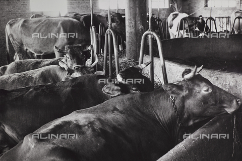 CGD-F-000205-0000 - Cows in a stable - Data dello scatto: 1955-1965 - Fratelli Alinari Museum Collections-Corinaldi Donation, Florence
