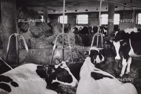 CGD-F-000206-0000 - Cows in a stable - Date of photography: 1955-1965 - Fratelli Alinari Museum Collections-Corinaldi Donation, Florence