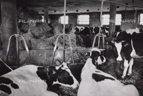 CGD-F-000206-0000 - Mucche nella stalla - Data dello scatto: 1955-1965 - Raccolte Museali Fratelli Alinari (RMFA)-donazione Corinaldi, Firenze