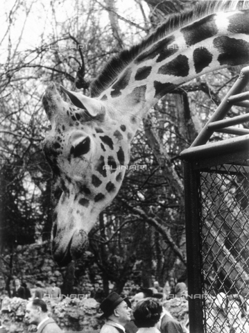 CGD-F-000207-0000 - A close-up of a giraffe, streching its long neck over the gate at the zoo. Below; some of the visitors of the zoo