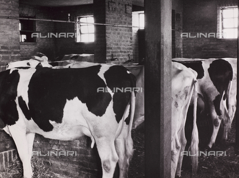 CGD-F-000210-0000 - Cows in a stable - Date of photography: 1955-1965 - Fratelli Alinari Museum Collections-Corinaldi Donation, Florence