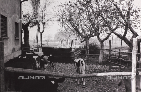 CGD-F-000211-0000 - Cows in the fence - Date of photography: 1955-1965 - Fratelli Alinari Museum Collections-Corinaldi Donation, Florence
