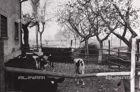 CGD-F-000211-0000 - Mucche nel recinto - Data dello scatto: 1955-1965 - Raccolte Museali Fratelli Alinari (RMFA)-donazione Corinaldi, Firenze
