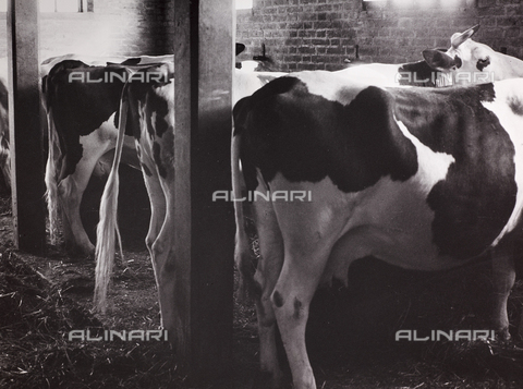 CGD-F-000212-0000 - Cows in a stable - Date of photography: 1955-1965 - Fratelli Alinari Museum Collections-Corinaldi Donation, Florence