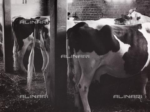 CGD-F-000212-0000 - Mucche nella stalla - Data dello scatto: 1955-1965 - Raccolte Museali Fratelli Alinari (RMFA)-donazione Corinaldi, Firenze