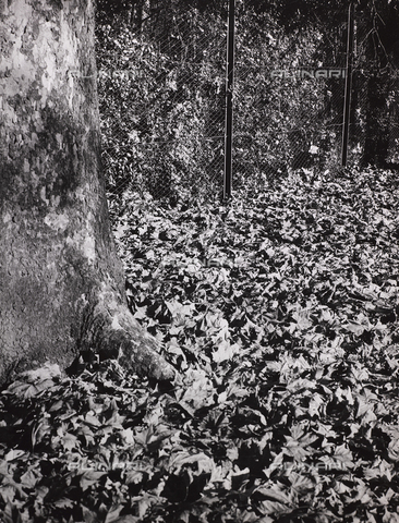 CGD-F-000327-0000 - Dry leaves at the base of a tree - Date of photography: 1955-1965 - Fratelli Alinari Museum Collections-Corinaldi Donation, Florence