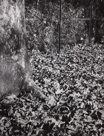 CGD-F-000327-0000 - Foglie secche alla base di un albero - Data dello scatto: 1955-1965 - Raccolte Museali Fratelli Alinari (RMFA)-donazione Corinaldi, Firenze