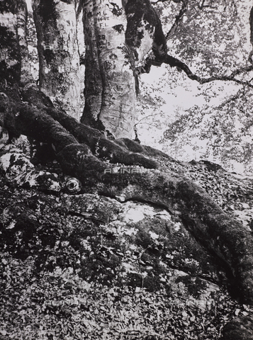 """CGD-F-000738-0000 - """"The forest"""" - Date of photography: 1955-1965 - Fratelli Alinari Museum Collections-Corinaldi Donation, Florence"""