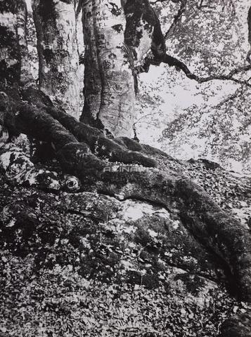 """CGD-F-000738-0000 - """"Il bosco"""" - Data dello scatto: 1955-1965 - Raccolte Museali Fratelli Alinari (RMFA)-donazione Corinaldi, Firenze"""