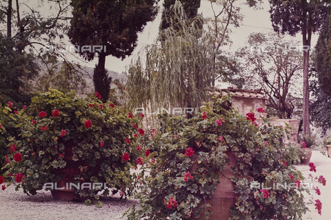 CGD-F-000817-0000 - Geranium plants in the Tuscan countryside - Date of photography: 1970-1973 - Fratelli Alinari Museum Collections-Corinaldi Donation, Florence