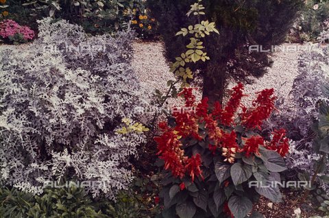 CGD-F-000822-0000 - Plants and flowers - Data dello scatto: 09/1973 - Fratelli Alinari Museum Collections-Corinaldi Donation, Florence
