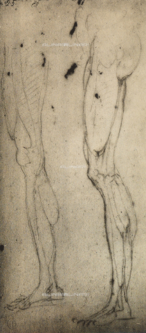 DIS-F-000870-0000 - Anatomic studies of legs, Michelangelo, Casa Buonarroti, Florence