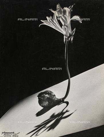 """DPA-F-000501-0000 - """"Bulbo en flor"""". Un bulbo di giglio in fiore, appoggiato su un piano inclinato bianco."""