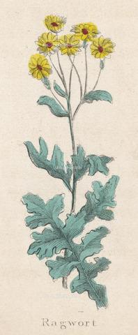 EVA-S-001004-0876 - Senecio Jacobaea, immagine tratta dall'Erbario Completo di Nicholas Culpeper (1616-1654) - © Mary Evans / Archivi Alinari