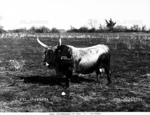 FAA-F-000188-0000 - A bull of roman breed, in the Lazio countryside