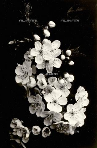 FBC-F-000656-0000 - Flowers of a fruit tree