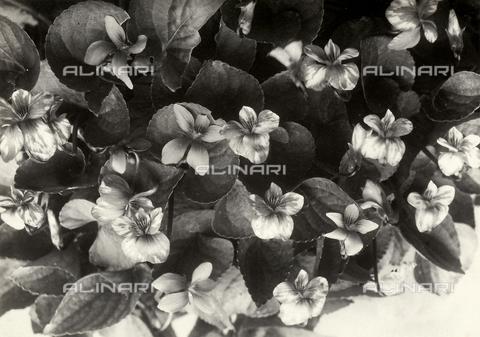 FBC-F-000657-0000 - Primo piano di viole con foglie