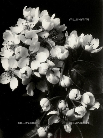 FBC-F-000658-0000 - Flowers and leaves of a fruit tree