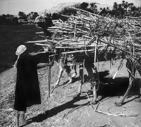 FCA-F-000152-0000 - Un uomo conduce due asini carichi di fascine, Egitto - Data dello scatto: 1950-1960 - Archivi Alinari, Firenze
