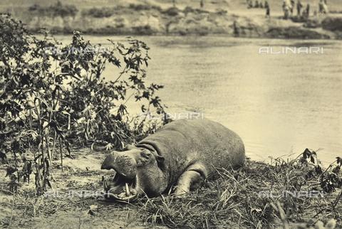 FCC-A-000067-0190 - A hippopotamus
