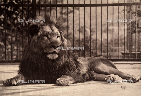 FCC-F-012874-0000 - Lion sitting in a cage.