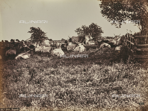 FCC-F-012912-0000 - Cows in the countryside of Naples - Data dello scatto: 1870 ca. - Archivi Alinari, Firenze