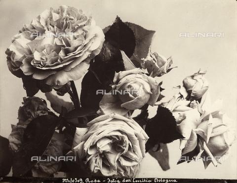 FCC-F-014501-0000 - Roses