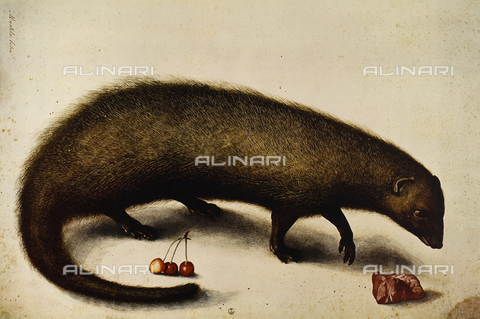 FDC-F-001471-0000 - Mustela Cutra (ichneumon or mongoose), etching in colors, Ligozzi Jacopo (1547-1627), Cabinet of Drawings and Prints, Uffizi Gallery