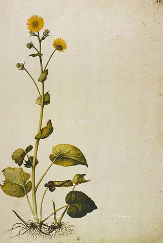 FDC-F-001473-0000 - Doronicum Pardalianches (Doronico), incisione a colori, Jacopo Ligozzi (1547-1627), Gabinetto dei Disegni e delle Stampe, Galleria degli Uffizi, Firenze